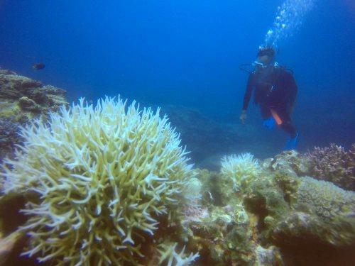 白化したトゲサンゴ