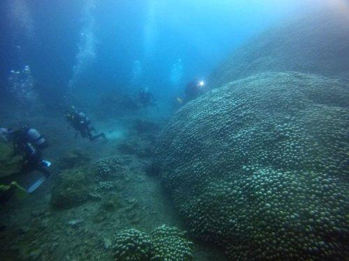コモンシコロサンゴ